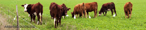Papiers peints Vache vaches et aigrettes