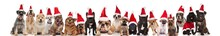 Large Group Of Cute Santa Dogs Of Different Breeds