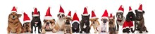 Large Group Of Happy Santa Dogs Sitting And Standing