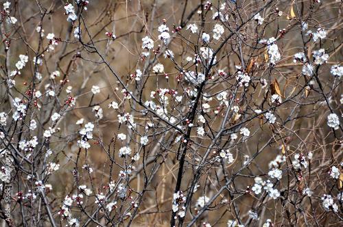 Spoed Foto op Canvas Peking Sakura in spring in Beijing