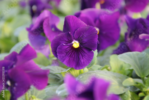 Tuinposter Pansies Pansy flowers in the garden