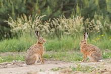 European Brown Hare (Lepus Eur...