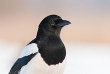 Birds - Common Magpie (Pica Pica)
