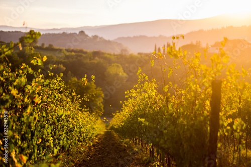 Nice view of countryyard in tuscany with wine produciton and winery concept. Sunset light create a golden and warm landscape to enjoy the beauty of the nature
