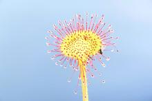 Sundew, Drosera Rotundifolia, ...
