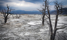 Dead Trees And Travertine Terraces Made Of Crystallized Calcium Carbonate In Mammoth Hot Springs, Yellowstone National Park