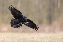 Birds - Flying Black Common Raven (Corvus Corax)