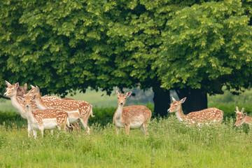 Fototapeta Natura Fallow deer (dama dama) at Charlecote Park, Warwickshire in spring