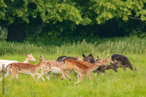 Fototapeta Fallow deer (dama dama)  at Charlecote Park, Warwickshire in spring obraz