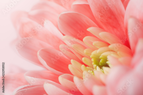 Tuinposter Macrofotografie Pink Chrysanthemum close-up. Macro image with small depth of field.
