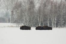 European Bison - Bison Bonasus...