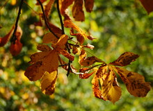 Autumnal Brown Coloured Leaves Of A Horse Chestnut Tree Against The Light, Still Hanging On A Branch. Blurred Background