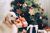 Fototapeta Zwierzęta - selective focus of golden retriever sitting with gift box in mouth near christmas tree at home