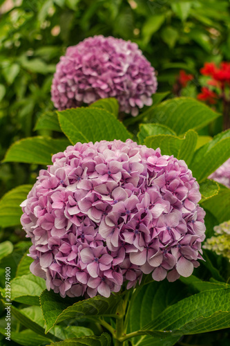 Pink Hydrangea macrophylla flowers, with green vegetation background