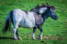 Shetland Pony At Scotland, She...