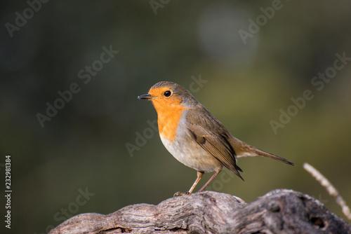 Pájaro ave petirrojo en un tronco de una cepa Canvas Print