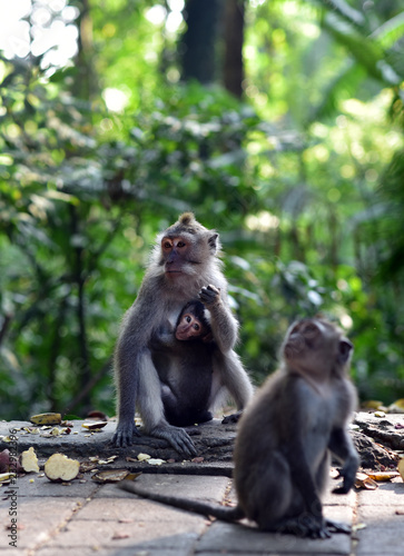 Poster Aap Monkey Forest Ubud is the sanctuary or natural habitat of Balinese long tailed Monkey in Bali Island, Indonesia