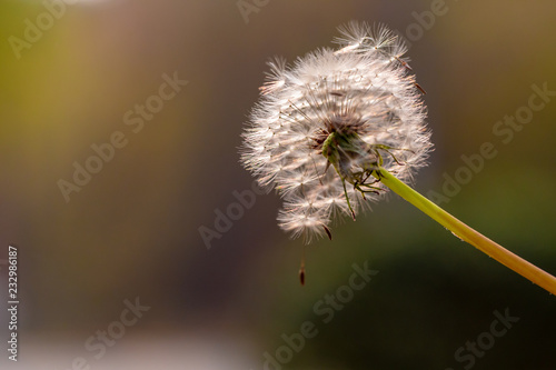 Close-up of a dandelion seed head. Beautiful Dandelion