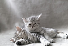 Two Funny Gray Furry Purebred Kittens Lie On Each Other On A Gray Background