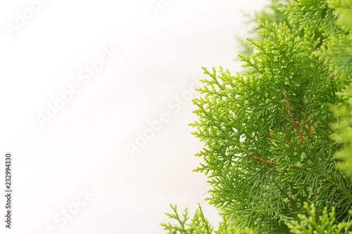 Fotografija  pine leaves, Evergreen Thuja background, Winter tree and christmas tree backgrou