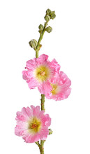 Stem With Pink Flowers Of A Hollyhock Isolated