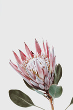 Pink King Protea Flower Agains...