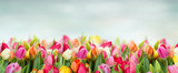 Fototapeta Tulipany - tulips in garden on blue sky background wide banner with copy space