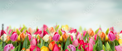 Canvas Print tulips in garden on blue sky background wide banner with copy space