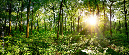 Fototapeten Wald Beautiful forest panorama in spring with bright sun shining through the trees