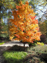 Japanese Maple In Fall Colors Of Yellow And Orange