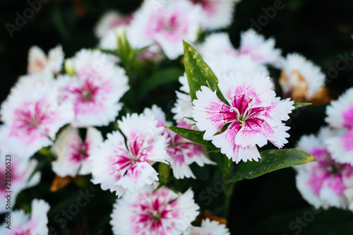 Photo  Pink Dianthus flowers (Dianthus chinensis), China Pink flower in flowerbed