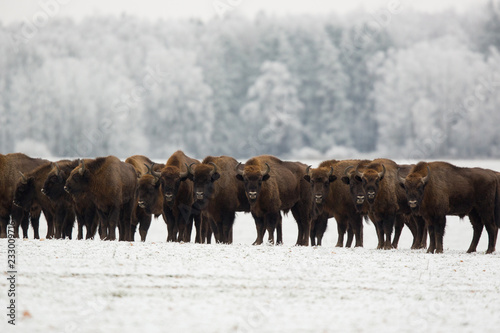 Poster Chasse European bison - Bison bonasus in the Knyszyn Forest (Poland)