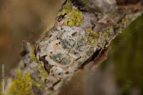 Fotografia, Obraz  Mousse et lichens sur écorce sur branche d'arbre