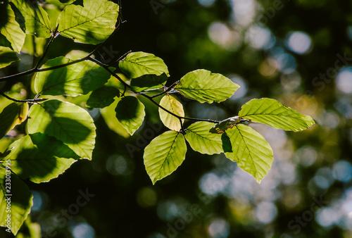 Photo  Buchenblätter am Ast im Sonnenlicht mit unscharfen Hintergrund