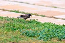 Single Bird Mynah In Grass