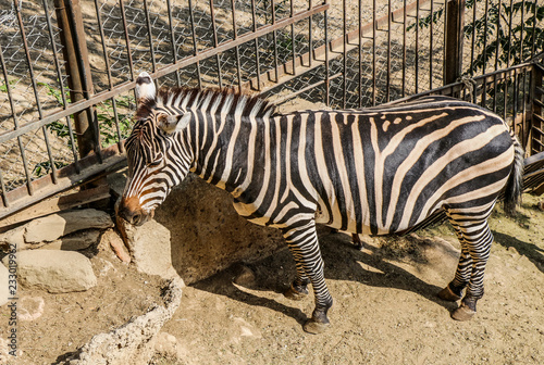 Zebra in a local zoo in Tbilisi