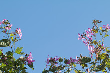 Bauhinia Purpurea Or Orchid Tr...