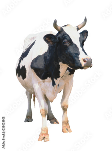 Acrylic Prints Cow Cow isolated on white background