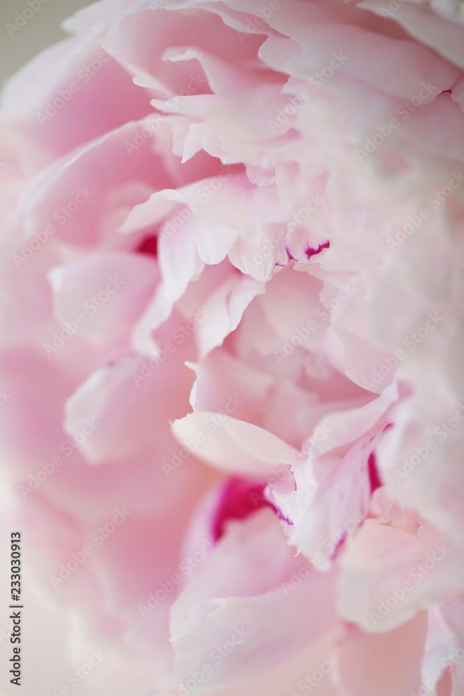 Fototapeta Peony pink flower close up beautiful macro photo - obraz na płótnie