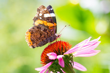 Red Admiral Butterfly Pollinating Echinacea Flower