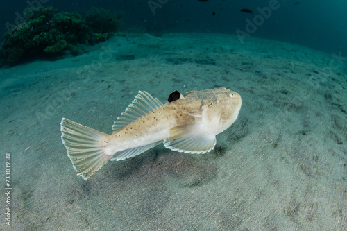 Carta da parati Blackfin Stargazer Swimming Over Sandy Seafloor in Komodo