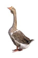 Closeup Shot Of Big Grey Adult Goose