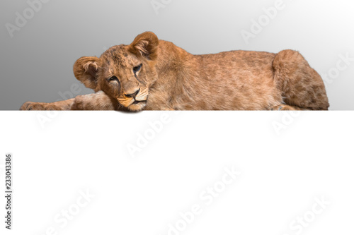 Photo Lion cub lying at the white background