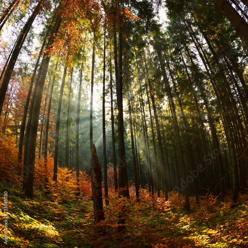 Fototapety, obrazy: Warm autumn scenery in the forest, with the sun casting beautiful rays of light through the mist and trees