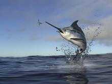 Beatiful Marlin Swordfish Jump...