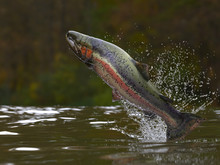 Trout Fish Jumping Out Of Lake...