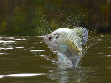 Great Pattern Of Crappie Fish ...