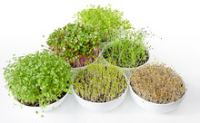Microgreens And Sprouts Triangle In White Bowls. Shoots Of Alfalfa, Chinese Cabbage, Garlic, Kale, Lentils And Radish In Potting Compost. Green Seedlings, Young Plants And Cotyledons. Food Photo.
