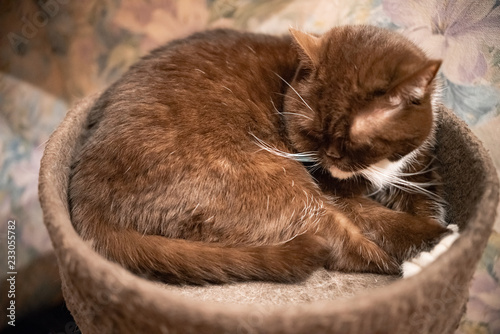 Fotografía  brown British cat with white paws lying in his house