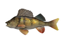 Yellow Perch Fish Side View 3d...